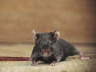 Rodent Proofing Services | Attic Cleaning Glendale, CA